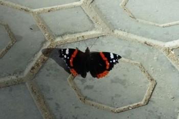 В Актау заметили редкую бабочку