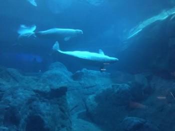 Из аквариума в отеле Актау пытались украсть белугу