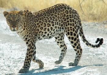Леопард попал в фотоловушку в Мангистауской области