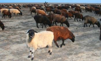 В Мангыстау внедряют пилотный проект по животноводству на плато Устюрт