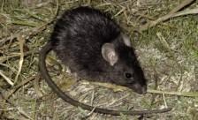 В квартирах Актау появились черные корабельные крысы