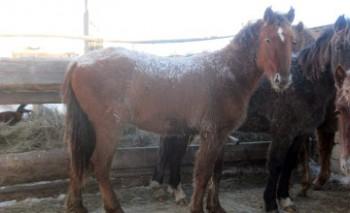 В Мангыстау предприниматель увеличил табун до 175 лошадей