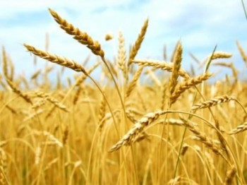 В Казахстане завершилась уборка урожая