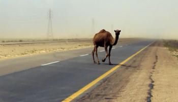 Верблюд спровоцировал жуткое ДТП в Мангистау