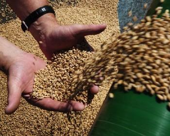 В Казахстане намолочено 22 млн тонн зерна
